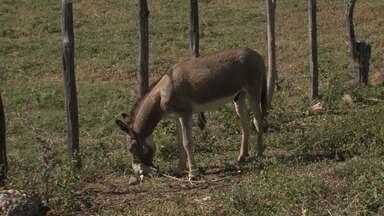 G1 no Campo: Adab diz que 'doença do mormo', que matou jumentos, está controlada na BA - Mormo, ou lamparão, é uma doença infecto-contagiosa dos equídeos que pode ser transmitida também ao homem e outros animais.