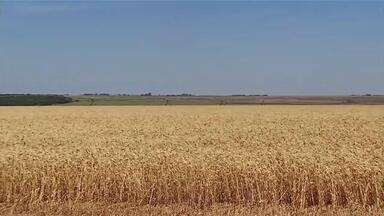 Com novidades, produtores apostam na melhoria da qualidade do trigo no Triângulo - Aumento da área plantada nos últimos anos anima quem trabalha no segmento.