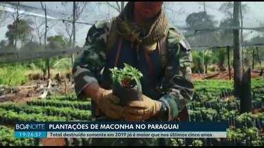 Quantidade de maconha destruída em 2019 já é maior que nos últimos cinco anos - Policiais do Paraguai e do Brasil tem reforçado a fiscalização nas regiões de fronteira e destruído plantações.