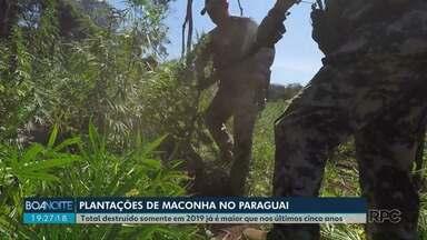 Plantações de maconha destruídas em 2019 no Paraguai é o maior dos últimos cinco anos - Os números são da Operação Aliança de combate ao tráfico de drogas.