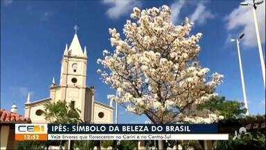 Ipês florescem no Cariri e no Centro-sul do estado - Saiba mais no g1.com.br/ce