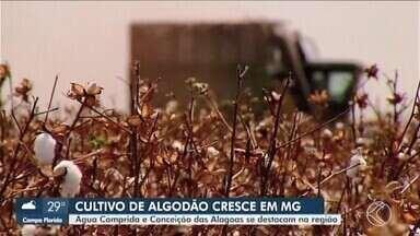 Cultivo de algodão é destaque em Água Comprida e Conceição das Alagoas - Clima e solo ajudam na produção, que tem crescido em Minas, segundo a Conab.