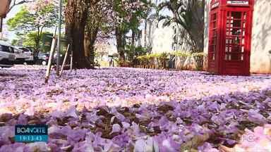 """""""Chuva"""" de flores de ipês é registrada em Londrina - Flores podem ser vistas em vários locais da cidade. Registramos a cena em frente à Câmara de vereadores"""
