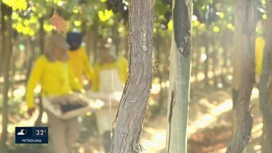 Detentos do semiaberto trabalham em empresa produtora de uva em Petrolina - Desde que o convênio começou, o número de reeducandos que integram o programa aumentou