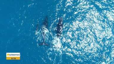 Baleias Jubarte estão de volta ao litoral sergipano - Elas usam as águas mornas pra procriar.