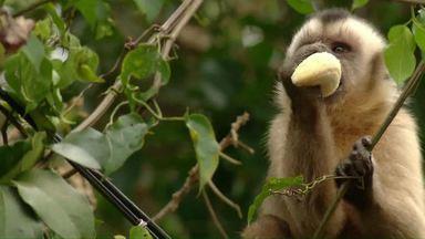 """Macacos atrapalham a vida de moradores de Foz do Iguaçu - O problema é que os animais são muito """"ousados""""."""