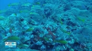 Pesquisadores da UFPE anunciam descoberta de grande banco de corais em Noronha - Segundo especialistas, o banco fica a 50 metros de profundidade e tem 16 quilômetros quadrados