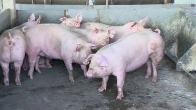 Criadores planejam investimento na produção de suínos em Patrocínio - Atividade vive bom momento em Minas Gerais, e produtores estão otimistas com habilitação de mais frigoríficos brasileiros para exportar carne para a China.