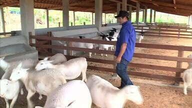 Conheça a raça de ovinos dorper - Expoagro terá exposição nacional de exemplares da raça.