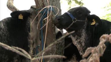 Produtores investem na raça girolando - Cruzamento entre gado leiteiro e o holandês é uma das atrações dos leilões da Expoagro 2019.