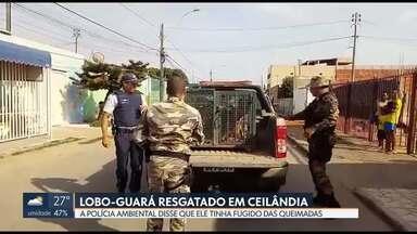 PM Ambiental resgata logo-guará em Ceilândia - Ele estava andando pelas ruas da cidade. Foi resgatado na garagem de uma casa, na QNN 07. Depois, foi solto na natureza.