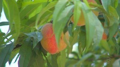 Reportagem da TV TEM fala sobre produção de pêssego - São Paulo é o segundo maior produtor de pêssego do Brasil. No ano passado, foram colhidas trinta e quatro mil toneladas da fruta, segundo o IBGE.