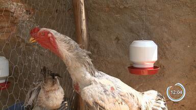 Adolescentes empreendedores investem em 'galos gigantes' em Cruzeiro - Animais são usados como mestre para a procriação e até como de estimação para amantes de galos e podem valer mais de R$ 60 mil.