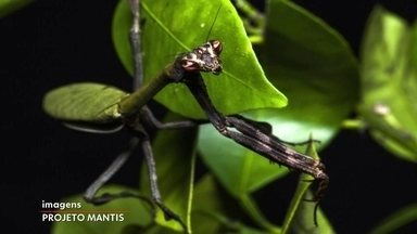 Projeto cataloga louva-a-deus raros da Mata Atlântica - A equipe de biólogos do Projeto Mantis tem uma missão científica que beira à poesia: mostrar a todos o quão maravilhoso e interessante é o micromundo dos insetos - e o porta-voz da empreitada é o louva-a-deus.