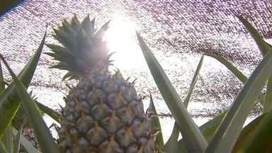 Produtores trocam papel de jornal por telas nas plantações de abacaxi - Antônio Corrêa cultiva abacaxi em Guaraçaí, terra onde mais se produz a fruta em São Paulo. Ele tem 70 mil plantas da variedade havaí e deve colher mais de 400 toneladas. Tudo sob um sol forte e temperaturas altas.