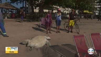 Tartaruga aparece morta na praia de Casa Caiada, em Olinda - Quem passou pelo local disse que o animal não estava sujo de óleo, mas tinha o casco destruído.