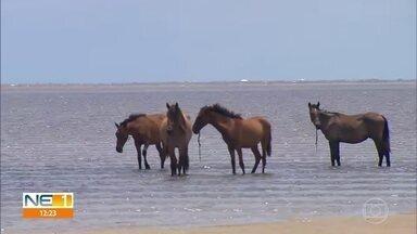 Cavalos são flagrados soltos na Praia de Carne de Vaca, em Goiana - Pescadores e marisqueiros relatam que animais aparecem todos os dias.