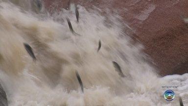 Período da piracema começa nesta sexta-feira na região noroeste paulista - A piracema, conhecida por ser a época de reprodução dos peixes, começa a partir da meia-noite desta sexta-feira (1º). O período termina no dia 28 de fevereiro de 2020.