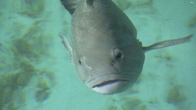 Garoupas ao mar - Projeto busca repovoar de garoupas área marinha no litoral paulista.