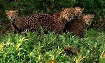 Onça com filhotes é filmada por guia no Pantanal - Larissa Neves filmou de perto uma fêmea com três filhotes no Porto Jofre.