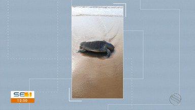 Tartarugas marinhas são encontradas mortas em praias de Aracaju - Tartarugas marinhas são encontradas mortas em praias de Aracaju.