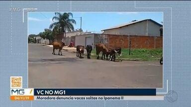 Vc no MG1: telespectador flagra vacas soltas em rua de Uberlândia - Preocupação é com o perigo para os animais e também para a população. Secretaria Municipal de Agropecuária, Abastecimento e Distritos informou por nota que que vai enviar uma equipe ao local.