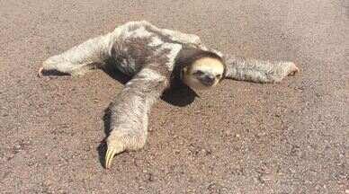 Bicho-preguiça é resgatado em meio à rodovia no Amapá - O empresário César Cocco registrou o momento em que o animal foi retirado da estrada