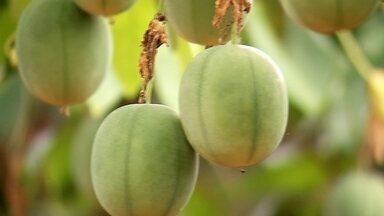 Pérola do cerrado é rústico e não se parece com maracujá - A produção no sítio de Sônia Righi de Matos é bem diversificada. Tem gado para produção de leite e algumas plantações. Isso ajuda a garantir o sustento ao longo do ano.