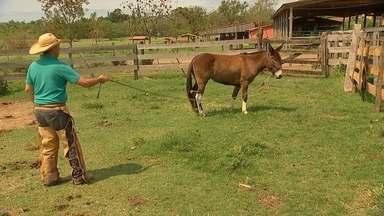 Doma de muares exige paciência - O sonho da família Andrade começou com a Monalisa, uma das primeiras mulas nascidas na Estância Sankara, em Votorantim (SP). Ela já foi premiada várias vezes em competições nacionais.