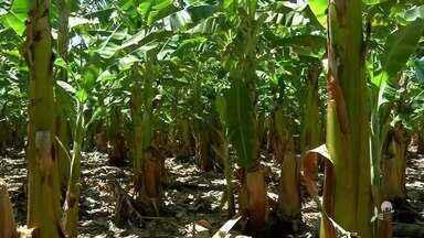 Produtores de banana reclamam de medidas impostas - Saiba mais no g1.com.br/ce