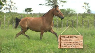 Cavalos da raça campolina conquistam admiradores na Bahia - Estado já tem o segundo maior plantel do Brasil.