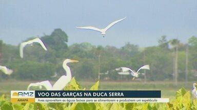 Especialistas temem que despejo irregular do lixo em rio afete a vida das garças em Macapá - Aves aproveitam as águas baixas para se alimentar.