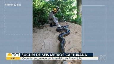 Cobra com 6 metros de comprimento e 70 kg é capturada em fazenda de Piracanjuba - Vídeo mostra quando os bombeiros soltam a sucuri em um rio, na zona rural. Segundo a corporação, fazendeiro a capturou porque ela estava comendo animais.