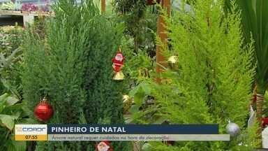 Árvore de Natal natural requer cuidados na hora da decoração - Árvore de Natal natural requer cuidados na hora da decoração