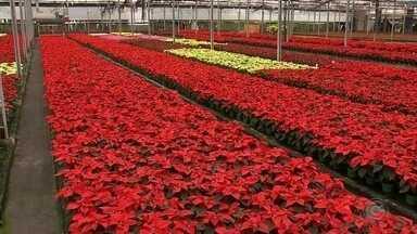 Entenda como é a produção da poinsétia, planta tradicional no Natal - Entenda como é a produção da poinsétia, planta tradicional no Natal.