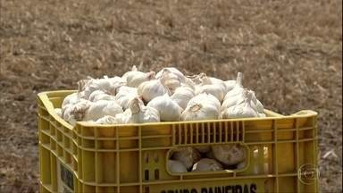 Preço pago ao produtor de alho melhora, mas concorrência com a China preocupa - Segundo agricultores, o produto chinês chega ao Brasil por um valor mais baixo, já que o país asiático não segue as mesmas normas e regulamentações dos brasileiros