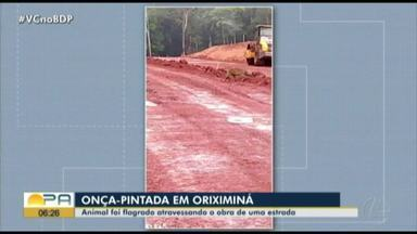 Vídeo flagra onça pintada atravessando obras em estrada de Oriximiná - Vídeo flagra onça pintada atravessando obras em estrada de Oriximiná
