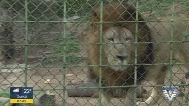 Leão morre no parque ecológico de São Vicente aos 14 anos - Leão Nanji era o primeiro da espécie nascido na Baixada Santista. Segundo a prefeitura, depois de realizar exames de rotina, foi constatado que o animal tinha problemas de saúde.
