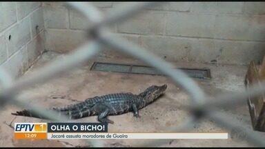 Moradores ficam assustados com aparição de jacaré em Guaíra, SP - Animal foi capturado e levado ao bosque pela Guarda Civil Municipal (GCM).