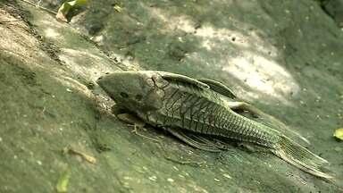 Peixes apareceram mortos em um arroio de Cruzeiro do Sul, no Vale do Taquari - A Secretaria do Meio Ambiente investiga o caso que pode ser um crime ambiental.