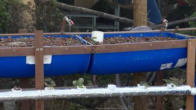 'Aquaponia': Técnica antiga é incentivada para beneficiar pequenos produtores na Bahia - A partir do método, incentivado na região de Feira de Santana, é possível produzir peixe e hortaliças economizando água.