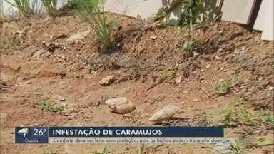 Infestação de caramujos africanos preocupa moradores em Elói Mendes (MG) - Infestação de caramujos africanos preocupa moradores em Elói Mendes (MG)