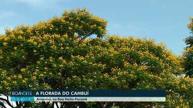 A florada do Cambuí - Veja a reportagem amanhã (8), no Boa Noite Paraná.