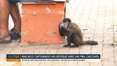 Macaco capturado no bosque de Londrina não irá mais para Cascavel - O animal ainda está sendo tratado porque está desnutrido, com anemia, verminose e dente podre.