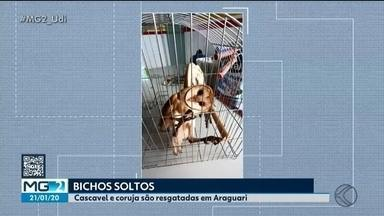 Cobra e coruja são resgatadas pelo Corpo de Bombeiros em Araguari - Cascavel estava em uma casa no Bairro Santiago e foi solta numa reserva ambiental. Já a coruja foi encontrada em uma oficina às margens da BR-050 e, por estar debilitada, foi levada para o Batalhão da Polícia Militar Ambiental.