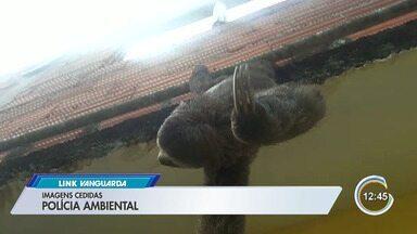 Bicho-preguiça é resgatados em telhado de casa em Caraguatatuba - Ação foi neste fim de semana.