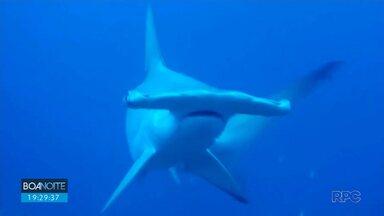 Pesquisadoras monitoram reprodução de tubarões no litoral do Paraná - Elas buscam por esses animais no oceano para fazer exames e coletar amostras. Objetivo é garantir a reprodução de espécies ameaçadas de extinção.