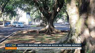Raízes de árvores acumulam água na av. Luiz Teixeira Mendes - Situação pode propiciar proliferação do mosquito da dengue.