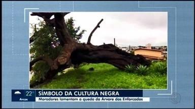 Moradores de Araxá lamentam queda da 'Árvore dos enforcados', símbolo da cultura negra - A árvore ficava no alto do morro da Rua Gustavo Martins de Oliveira, no Bairro Morada do Sol, e era declarada imune de corte desde 1979.