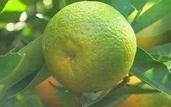 ABC do Globo Rural: Tangerina - Saiba o que pode deixar a tangerina seca ainda no pé.